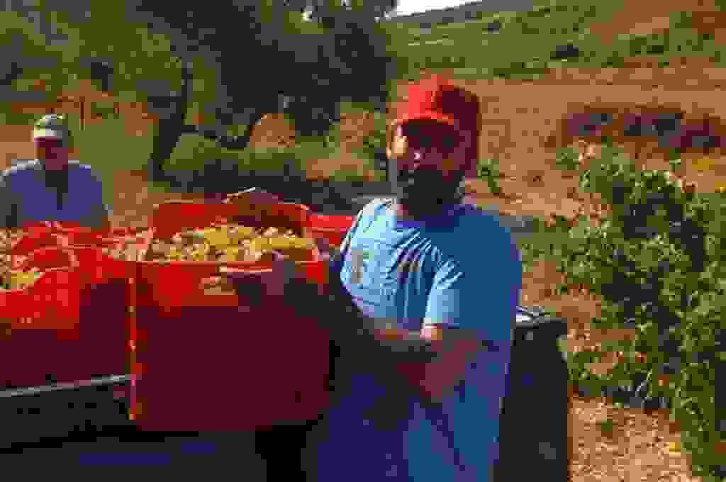 Ξεκίνησε ο τρύγος της Ρομπόλας στα Βαλσαμάτα (εικόνες)