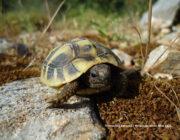 Ένα μικρό χελωνάκι ξηράς (είδος: Testudo Hermanni) απελευθερώθηκε στην φύση!